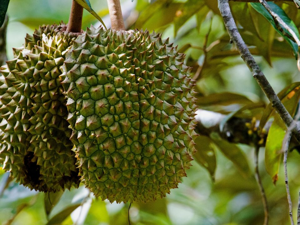 Duran fruit in tree, Borneo